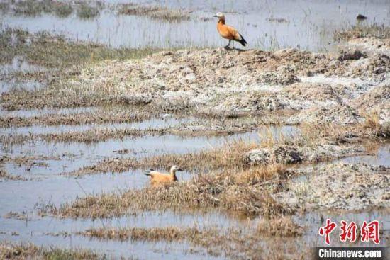 """图为国家二级保护动物""""黄鸭""""在瓜洲湿地小憩。"""