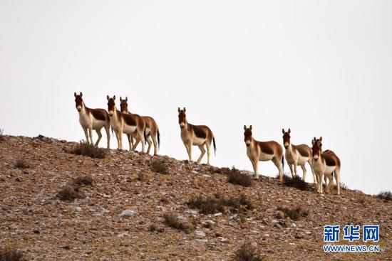 1月9日,藏野驴在阿克塞哈萨克族自治县阿勒腾乡哈尔腾草原上活动。新华社发(高宏善 摄)