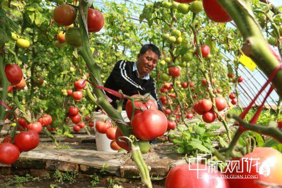 图为采摘西红柿。