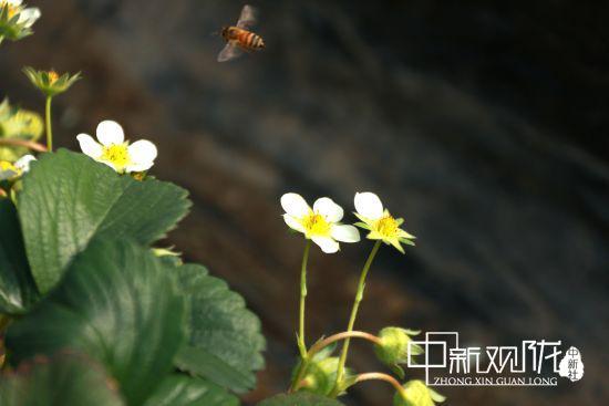 图为蜜蜂飞舞。