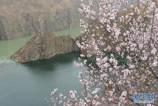 近日,黄河刘家峡水库岸边山花盛开,春意盎然。新华社发(史有东 摄)
