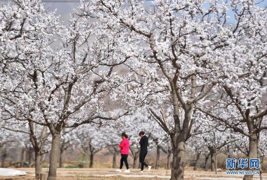 3月27日,游客在甘肃省东乡县唐汪镇的杏园中赏花游览。新华社发(史有东 摄)