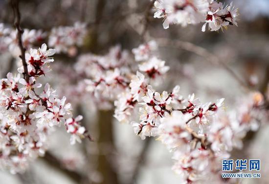 杏花竞相开放。
