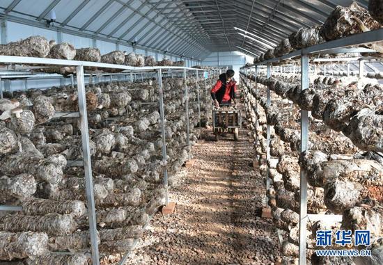 12月12日,工人在东乡族自治县那勒寺易地扶贫搬迁安置点后续产业园温棚里采摘香菇。新华社发(史有东 摄)