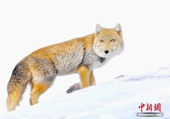 藏狐在阿克塞县境内出现十分罕见,惊喜的是,它们面对镜头没有躲闪,像是给拍摄者给镜头一样。