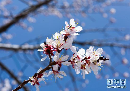 杏花绽放春色美。