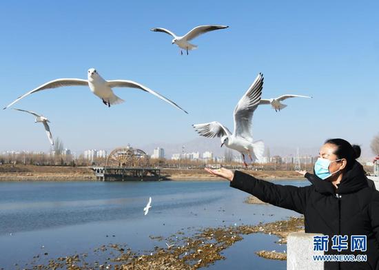 1月18日,在甘肃省临夏回族自治州永靖县刘家峡镇,居民给红嘴鸥喂食。新华社发(史有东 摄)