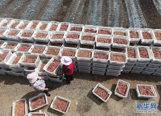 临夏县尹集镇农民在田间搬运葱苗(5月16日摄,无人机照片)。新华社发(史有东 摄)