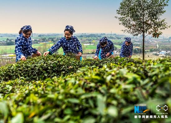3月5日,在四川省绵竹市土门镇赵坡茶仙谷,采茶的姑娘们用灵巧的双手从茶树上摘下一片片嫩芽。新华网发(周乐鹏 摄)