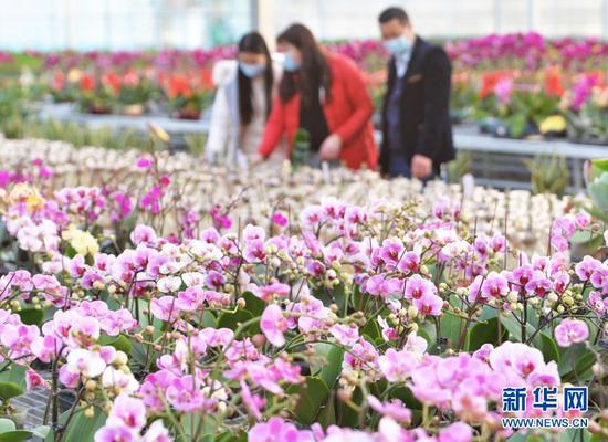 2月2日,顾客在甘肃省临夏县一花卉市场选购蝴蝶兰。新华社发(史有东 摄)