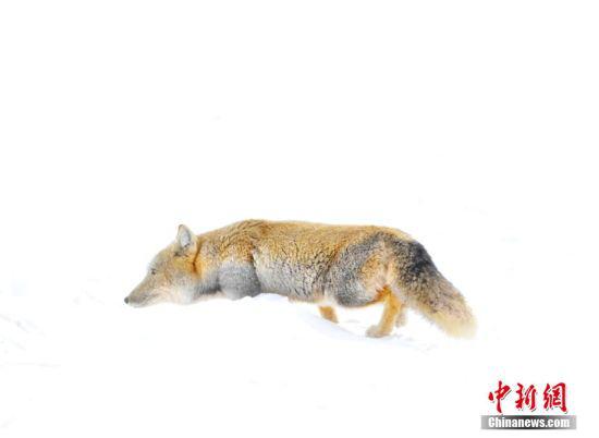 藏狐广泛分布在西藏,体型和赤狐接近,其背部呈褐色,腹部为白色,体侧有一条浅灰色的区域,尾巴粗短,末端近乎白色,主食鼠类,对农牧业十分有利,亦为益兽。 别尔哈里 摄