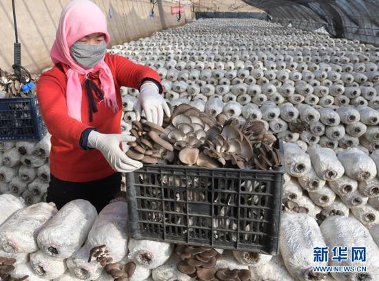 1月27日,工人在甘肃省临夏回族自治州临夏县先锋乡一食用菌产业园里采收平菇。新华社发(史有东 摄)