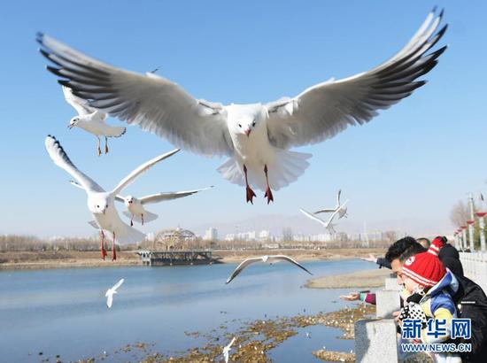 1月18日,红嘴鸥在甘肃省临夏回族自治州永靖县刘家峡镇上空飞翔。新华社发(史有东 摄)
