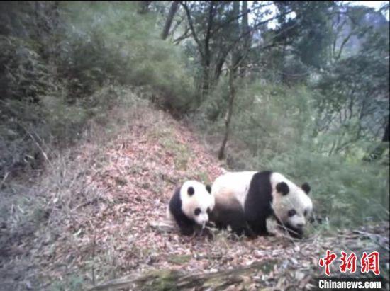 随着甘肃白水江国家级自然保护区管理局监测野生大熊猫设备的增多,其身影频繁进入大众视野。(资料图) 甘肃白水江国家级自然保护区管理局供图
