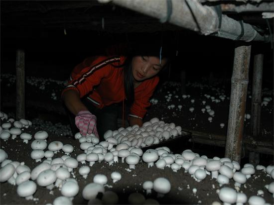 2005年,宁夏彭阳县,菇农正在采集菌草栽培的双孢菇。