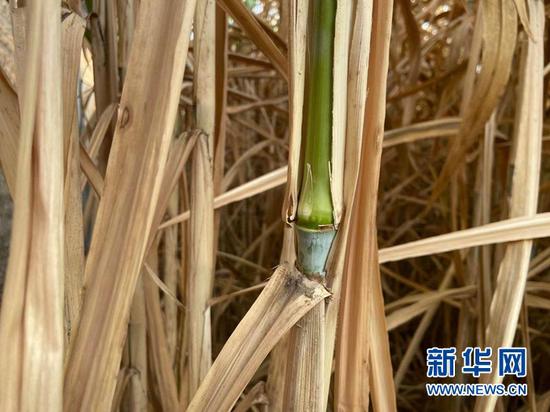 在定西菌草越冬繁育中心,越冬的菌草嫩芽鲜绿。新华社记者 王朋 摄