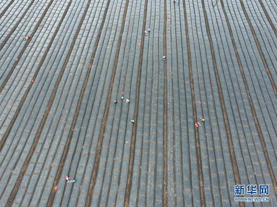临夏县尹集镇农民在田里栽植葱苗(5月16日摄,无人机照片)。新华社发(史有东 摄)