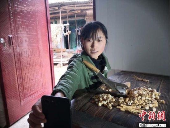 """3月下旬,甘肃陇南市宕昌县的""""90后""""农家女,用手机直播中药材切片。"""