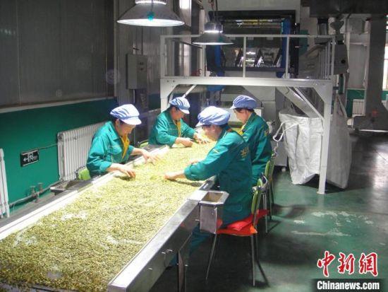 庆城县嘉辉食品有限公司公司+农户模式,保障农户种植收益稳定,保底收购农产品,今年一季度,该公司出口创汇240万美元。图为公司生产车间中农户在工作。