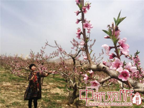 每年4月中旬兰州安宁桃花竞相开放。