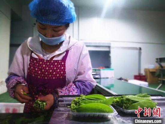 图为5月上旬,甘肃榆中的工人对高原夏菜根据品相进行分类。
