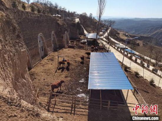 图为甘庄村窑洞养牛示范点。 关惠文 摄