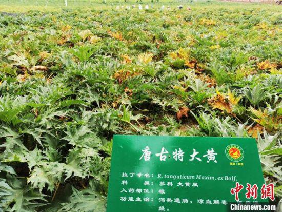 2020年7月29日拍摄于陇西县境内,超过百种中药材在这里培育。(资料图) 殷春永 摄