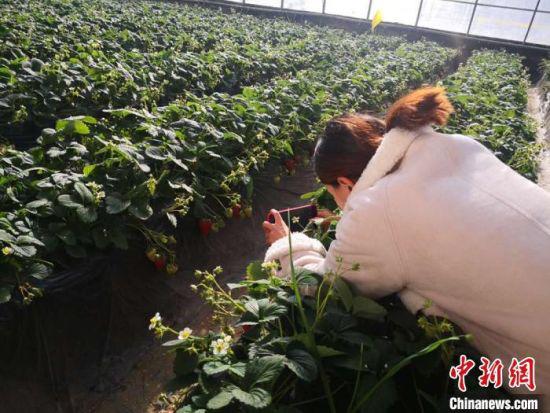 图为兰州市民拍摄榆中县的智慧菜园。(资料图) 史静静 摄