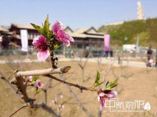图为盛开的桃花。(资料图) 刘薛梅 摄