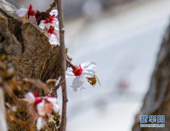 杏花盛开惹蜂来
