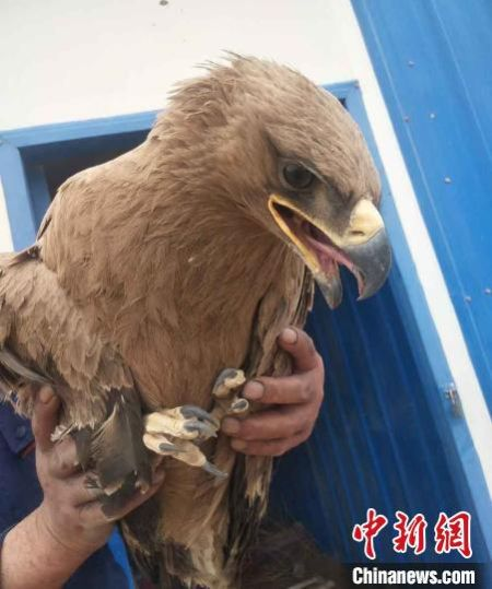 5月5日,甘肃酒泉市瓜州县救助一只国家一级重点保护动物野生金雕。图为受伤的金雕。