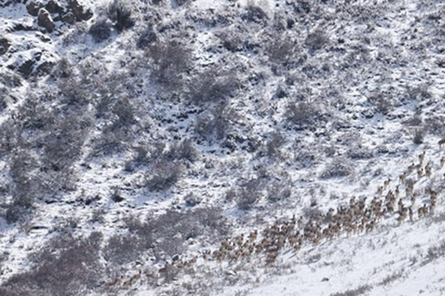 """【视频】祁连山雪后云雾缭绕 """"岩壁精灵""""撒欢觅食"""