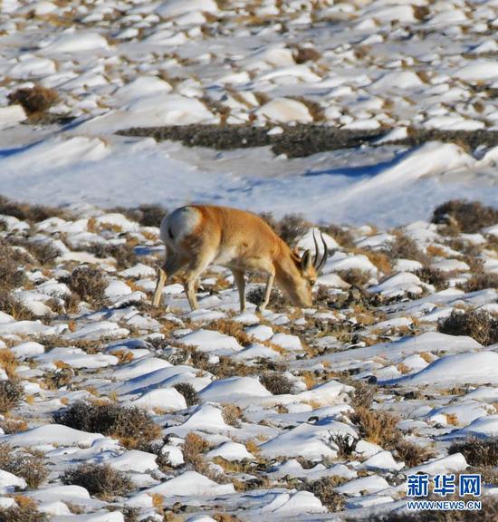 12月23日,一只国家二级保护动物藏原羚在哈尔腾草原上觅食。