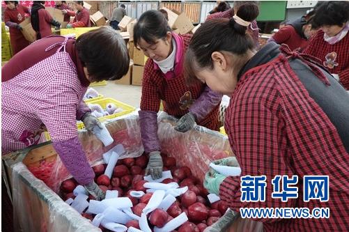在甘肃省天水市麦积区花牛镇新民苹果种植专业合作社,工作人员将花牛苹果装箱,准备外销
