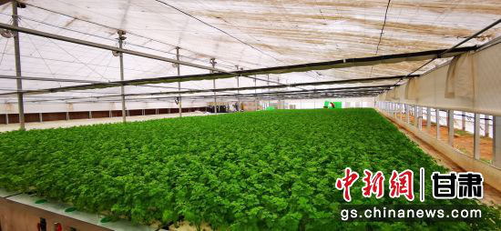 图为兰州新区现代农业示范园双膜大棚内生长的水培叶菜。(资料图)