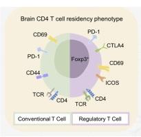 一种只存在于老鼠和人类大脑中的新型白细胞。