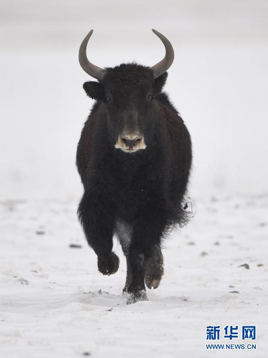 1月9日,一头野牦牛在阿克塞哈萨克族自治县阿勒腾乡哈尔腾草原上奔跑。新华社发(高宏善 摄)