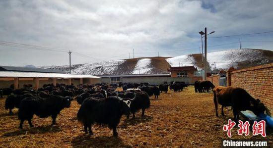 4月中旬,甘肃甘南州夏河县良种高原奶牛(娟犏雌牛)繁育基地。