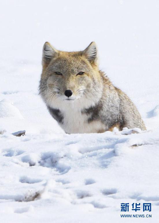 1月23日,在甘肃省酒泉市阿克塞哈萨克族自治县阿勒腾乡,一只藏狐在雪中活动,萌态十足。新华社发(高宏善 摄)