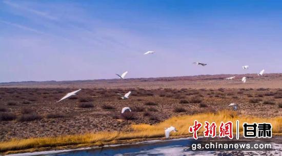 瓜州县唐墩湖省级自然保护区东巴兔管护站水域内飞翔的候鸟。王俊 摄