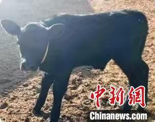 图为纯种肉用黑安格斯犊牛。 马登录 摄