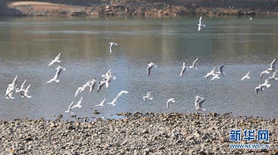 1月18日,在甘肃省临夏回族自治州永靖县刘家峡镇,红嘴鸥在水面上飞翔。新华社发(史有东 摄)