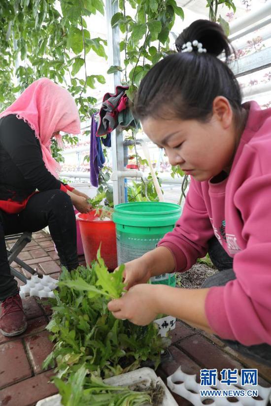11月15日,工作人员在民勤县红旗谷现代农业产业园内劳作。新华社记者 杜哲宇 摄