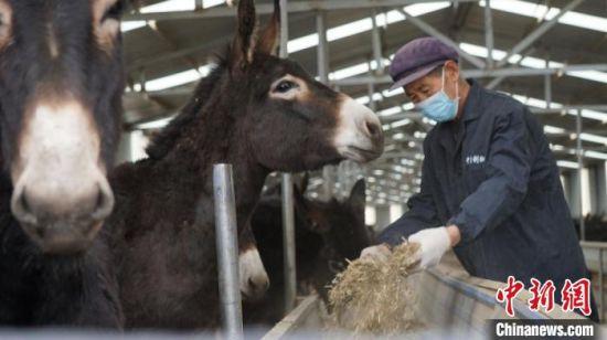 图为甘肃宕昌县明上湾村村民在养驴基地务工,每月获取固定收入。