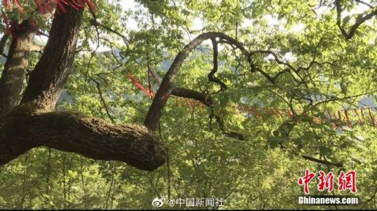 图为千年青冈树。