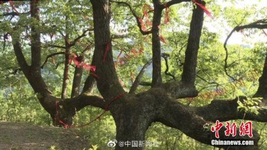 在甘肃陇南市武都区裕河镇,两颗千年青冈树模样相像、盘坐对称,像极了一对不离不弃的情侣。