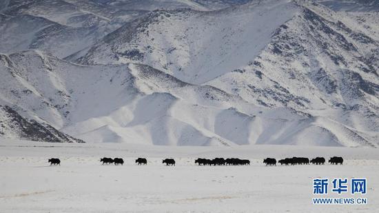 12月23日,国家一级保护动物野牦牛在哈尔腾草原上活动。新华社发(马晓伟 摄)