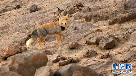 1月9日,一只藏狐在阿克塞哈萨克族自治县阿勒腾乡哈尔腾草原的山中活动。新华社发(高宏善 摄)