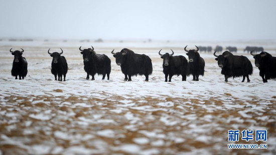 1月9日,野牦牛在阿克塞哈萨克族自治县阿勒腾乡哈尔腾草原上活动。新华社发(高宏善 摄)