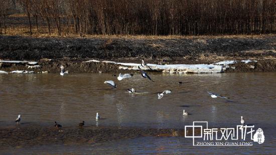 """连日来,上百只冬候鸟在大夏河起舞、嬉戏、觅食。据悉,自临夏市大夏河全河段防洪与生态环境综合治理工程规划实施以来,大夏河水生态治理效果全面提升,宽阔的水面""""接待""""了长年驻扎的冬候鸟。通讯员 马玉林 摄"""